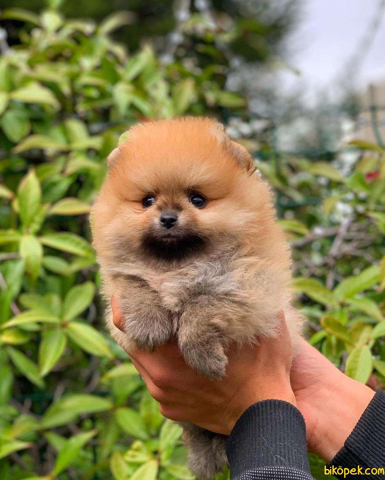 Tedy Bear  Pomeranian Yavrular 1