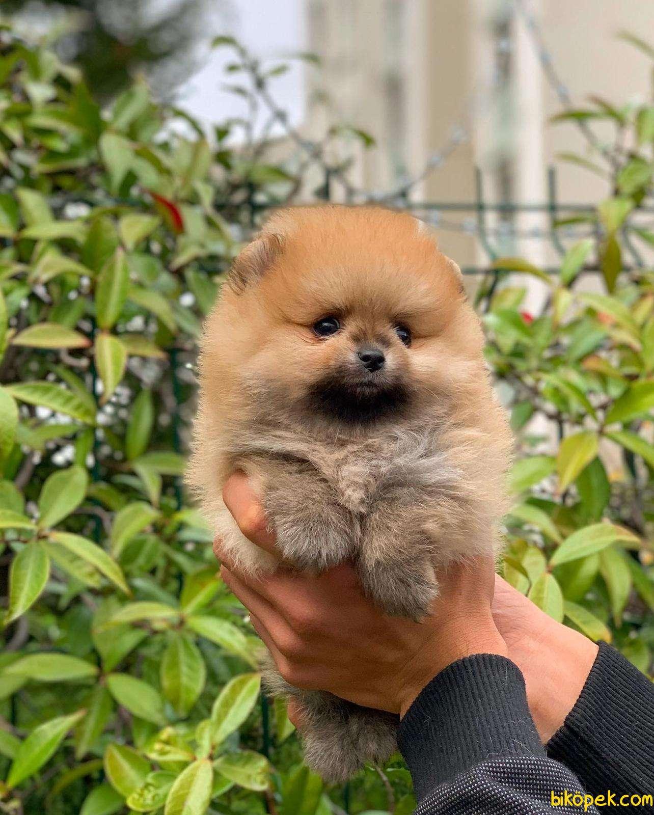 Tedy Bear  Pomeranian Yavrular 2