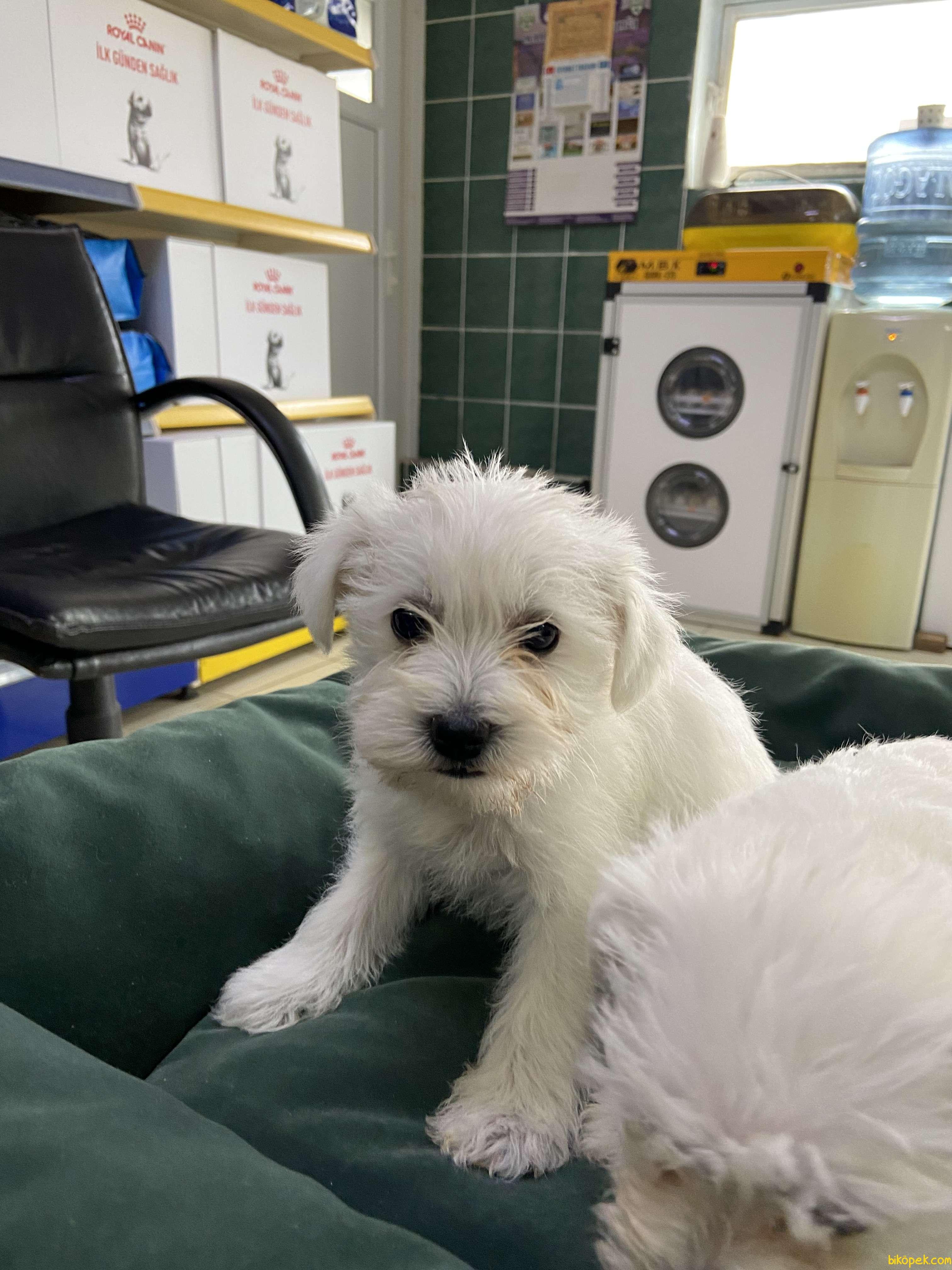 Terrier Maltese 4