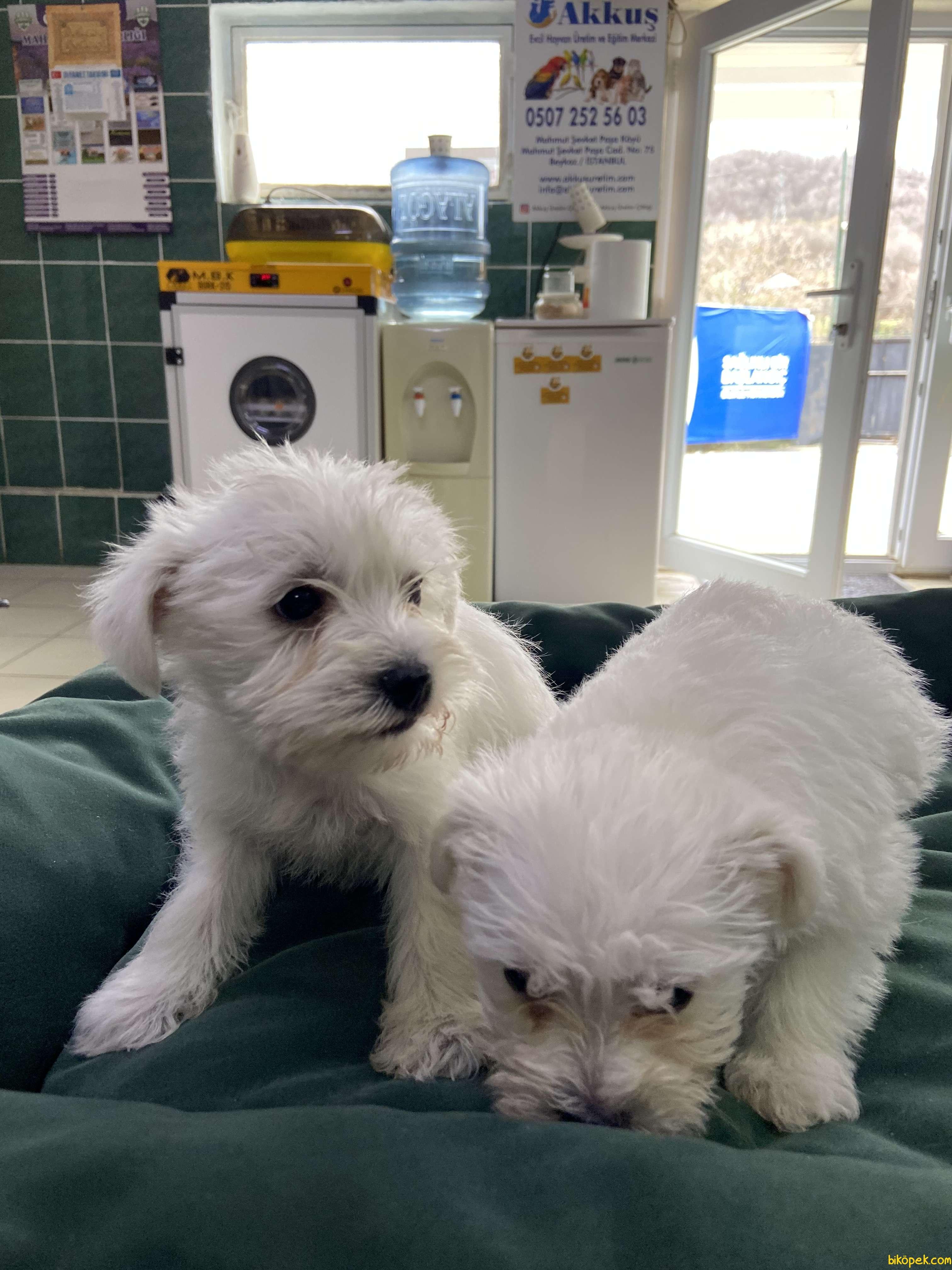 Terrier Maltese 3