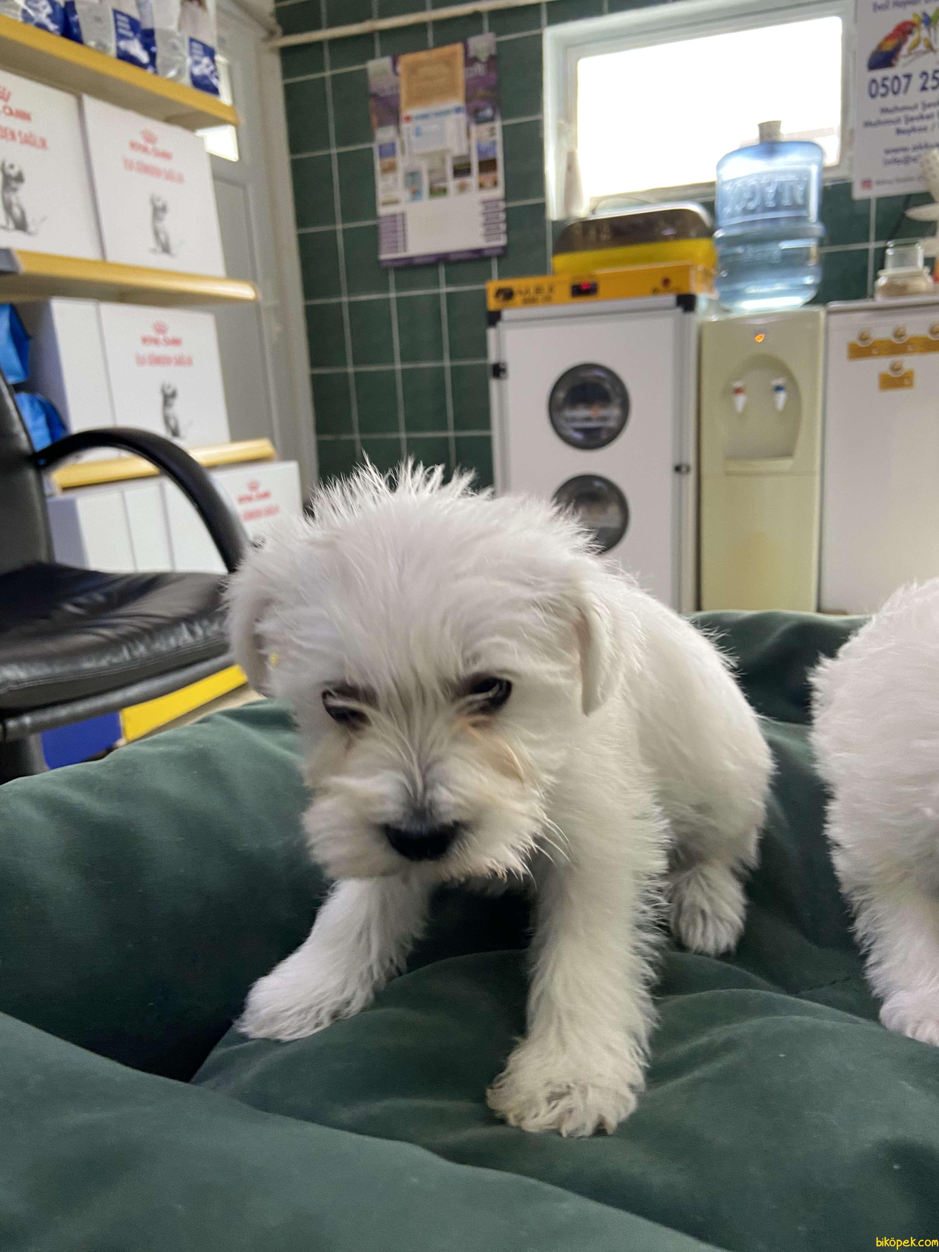 Terrier Maltese 1