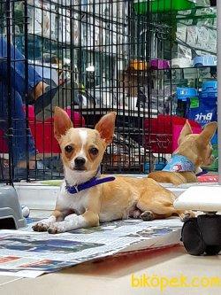 0 Numara A Kalite Chihuahua  Yavruları