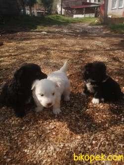 0 Numara Terrier Bebekler 1