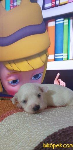 0 Numaralı Maltese Terrier Yavruları 1