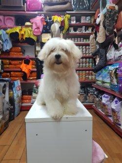 Orjinal Maltese Terrier 1