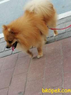 11 Aylık Pomerian Köpeğimiz Çok Uysal Çok Sevimli Tuvalet Eğitiml