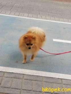11 Aylık Pomerian Köpeğimiz Çok Uysal Çok Sevimli Tuvalet Eğitiml 3