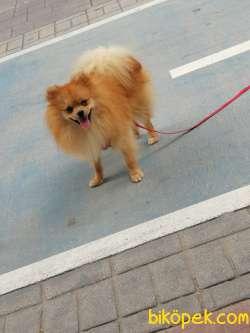 11 Aylık Pomerian Köpeğimiz Çok Uysal Çok Sevimli Tuvalet Eğitiml 4
