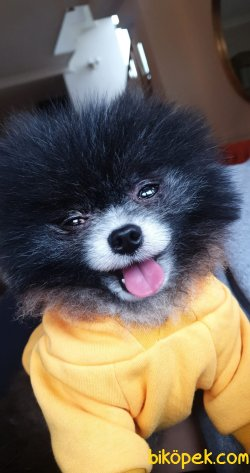 1300 Gr Tea Cup Pomeranian Black And White