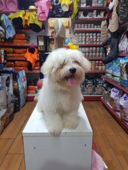 Orjinal Maltese Terrier 5