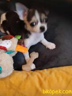 2 Aylık Akıllı Teacup Chihuahua