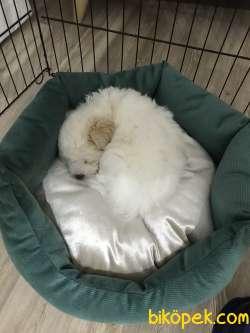 4 Aylık Maltese Terrier.Son 3 Aşısı Kaldı. Tuvalet Eğitimi Var.