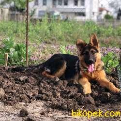 6 Aylık Dişi Alman Çoban Köpegi ,YER:SAKARYA