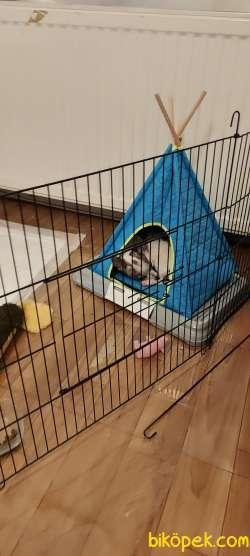 6 Aylık Eğitimli Chihuahua (Peanut) 4