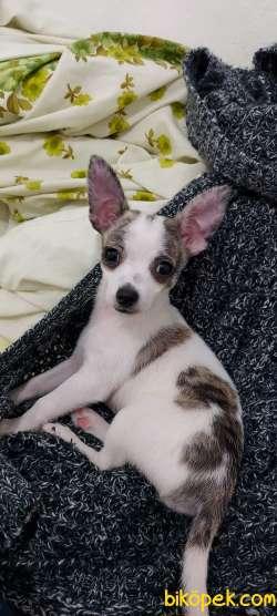 6 Aylık Eğitimli Chihuahua (Peanut) 5