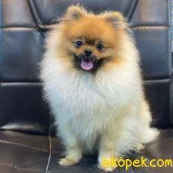 6 Aylık Erkek Safkan Pomeranian Boo Yavrumuz