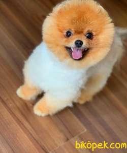 9 Aylık Erkek  Teddy Bear Pomeranian Boo Yavrumuz