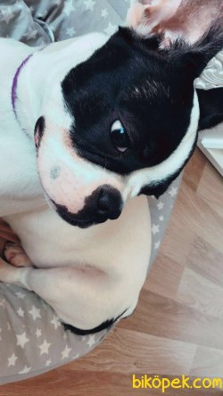 9 Aylık Fransız Bulldog 2