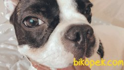 9 Aylık Fransız Bulldog 3