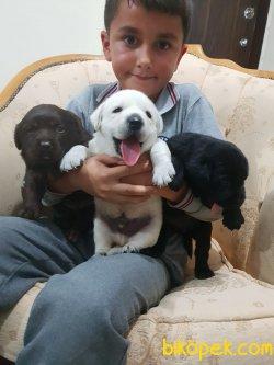 A Kalite Çok Şeker Labrador Redriever Yavrularım