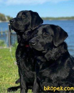 A Kalıte Labrador Retriever Yavruları 2