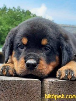 A Kalıte Macar Rottweiler Yavruları