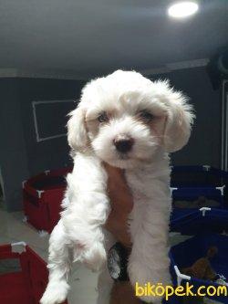 A Kalite Maltese Terrier Yavrularımız