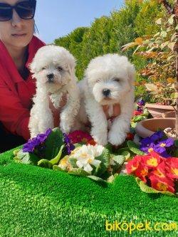 A Kalite Mini Boy Maltese Terrier Çok Sevimli Yavrularım