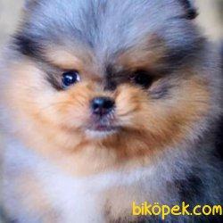 A Kalite Pomeranian Yavrular