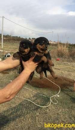 A Kalite Rottweiler  Yavruları 1