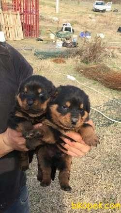 A Kalite Rottweiler  Yavruları 2