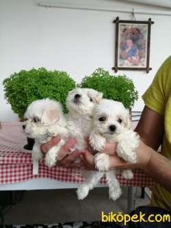 AB Pasaportlu Mikroçipli Irk Ve Sağlık Garantili  Maltese Terrier