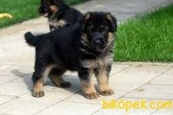 A Kalite Alman Çoban Yavruları