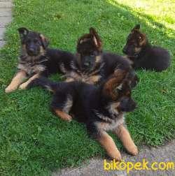 Alman Çoban Yavruları