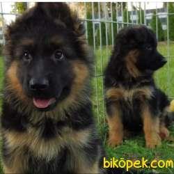 Alman Çoban Yavrulari