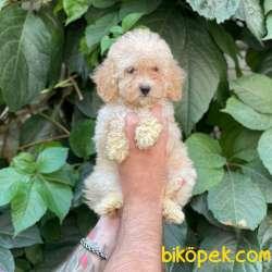 Apricot Dişi Toy Poodle Yavrumuz 2