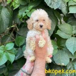 Apricot Dişi Toy Poodle Yavrumuz 4