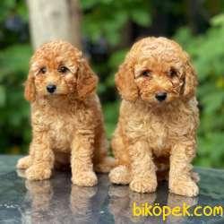 Apricot Toy Poodle Bebekler (dişi,erkek) 5