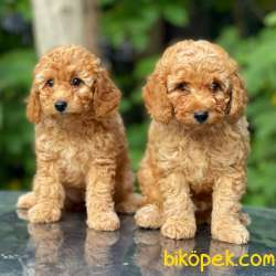 Apricot Toy Poodle Bebekler (dişi,erkek) 1