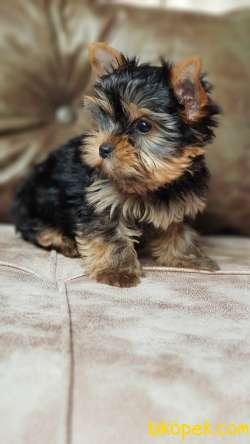 Asil Yorkshire Terrier Yavrumuz