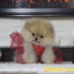Ayı Surat Boo Pomeranian Yavrular