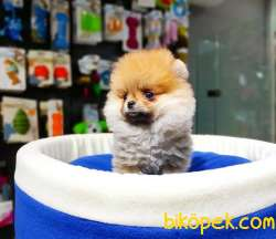 Ayı Surat Dişi Pomeranian BOO Yavrumuz