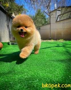 Ayı Surat Pomeranian Boo Yavrularımız 1
