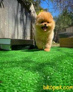 Ayı Surat Pomeranian Boo Yavrularımız 4
