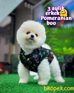 Ayı Surat Teddyface Pomeranian Boo Oğlumuz PUTY/Yavrupartiler