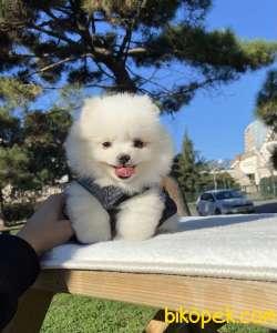 Ayıcık Tüy Yumağı Boo Pomeranian