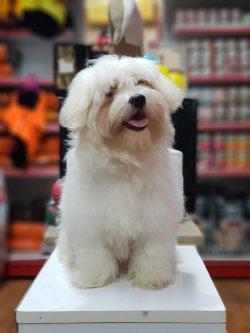 Orjinal Maltese Terrier 4