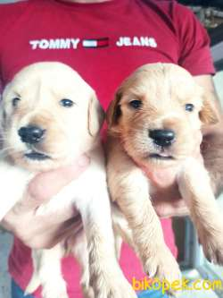 Babyface Golden Retriever Yavrular