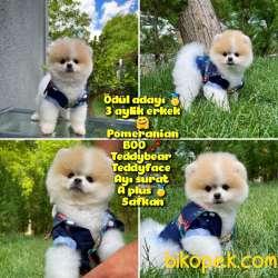 Basık Surat 0,5 Burun Safkan Boo Pomeranian Yavrupatiler
