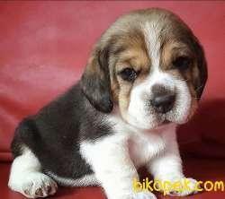 Beagle Yavrularımız Orjinal Safkan